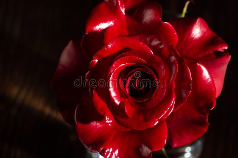 Rosa färger steg blomman, närbilden, makroen, låg tangent för bakgrund royaltyfria bilder