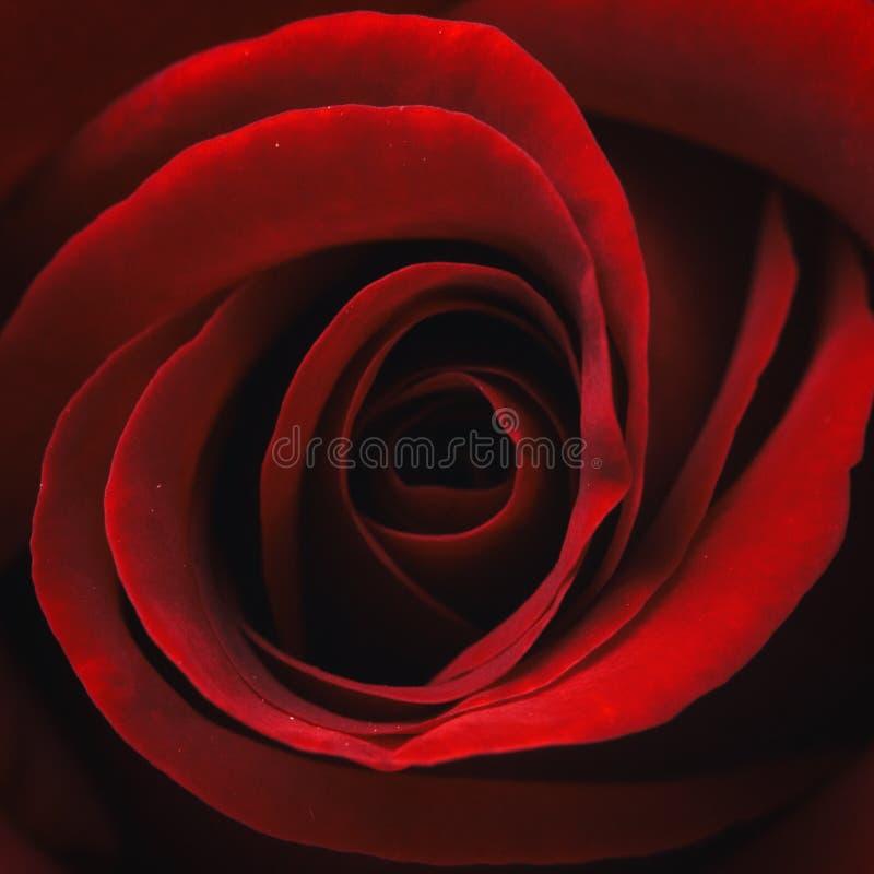 Rosa färger steg blomman, närbilden, makroen, låg tangent för bakgrund arkivbild