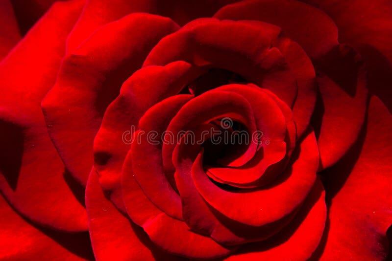 Rosa färger steg blomman, närbilden, makroen, låg tangent för bakgrund royaltyfri foto