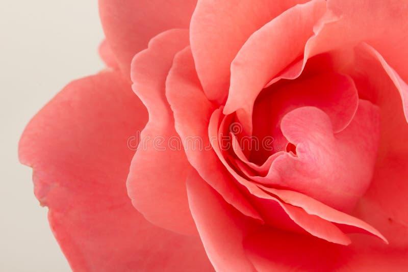 Rosa färger steg blomman, närbilden, makroen, låg tangent för bakgrund arkivfoton