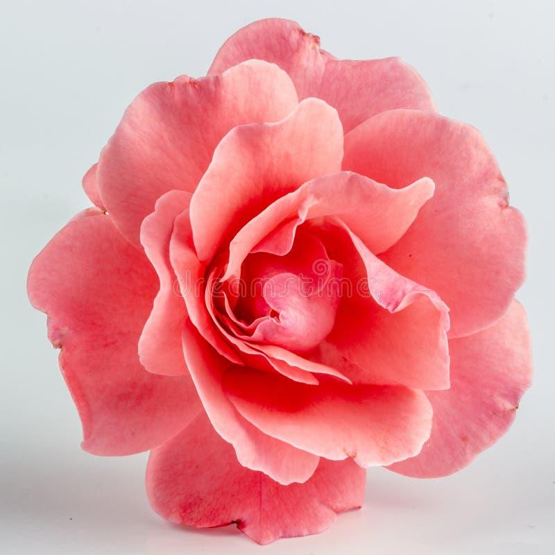 Rosa färger steg blomman, närbilden, makroen, låg tangent för bakgrund royaltyfri bild