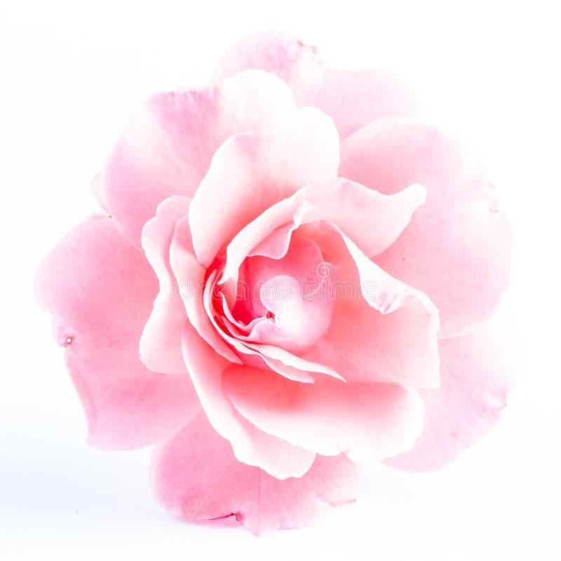 Rosa färger steg blomman, närbilden, makroen, låg tangent för bakgrund arkivfoto