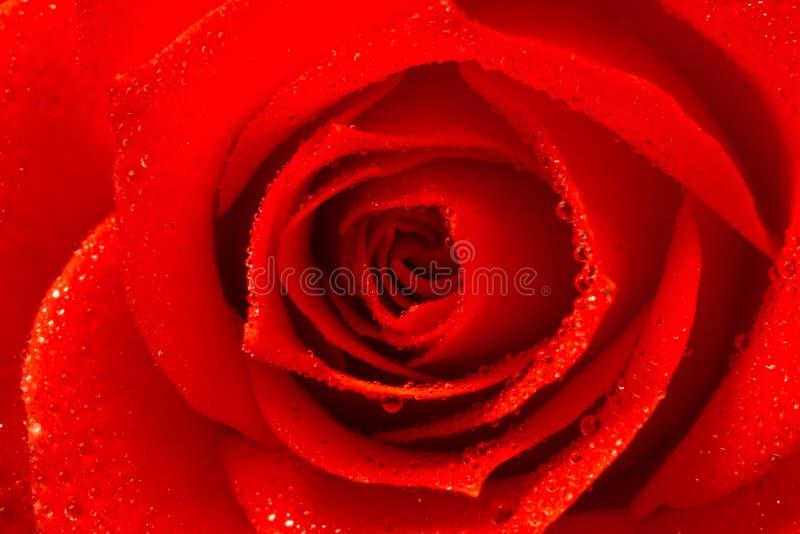 Rosa färger steg blomman, närbilden, makroen, låg tangent för bakgrund royaltyfri fotografi