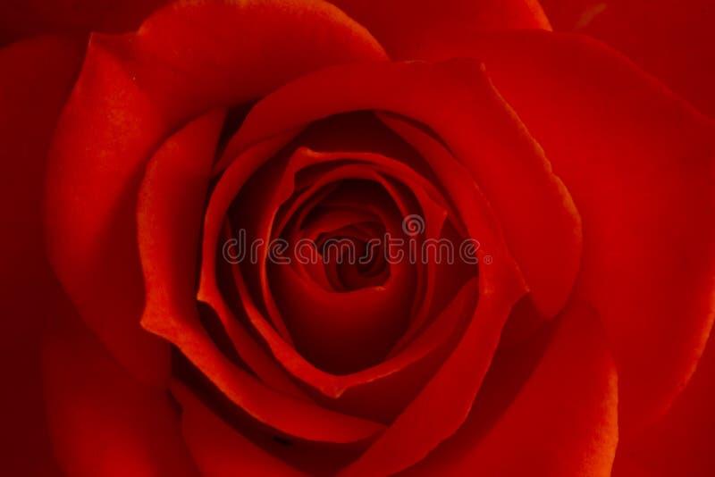 Rosa färger steg blomman, närbilden, makroen, låg tangent för bakgrund fotografering för bildbyråer
