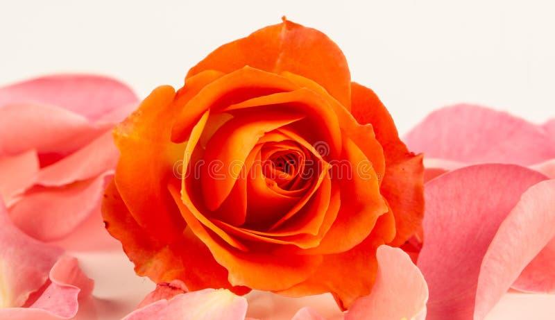 Rosa färger steg blomman, närbilden, makroen, låg tangent för bakgrund royaltyfria foton