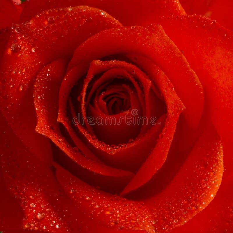 Rosa färger steg blomman, närbilden, makroen, låg tangent för bakgrund arkivbilder