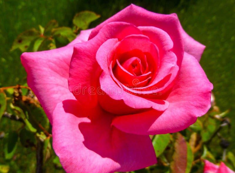 Rosa färger steg blommaslutet upp i trädgården, сlose för bästa sikt upp arkivfoton