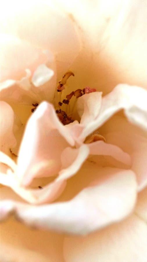 Rosa färger steg den zoomade forsen i dagsljus fotografering för bildbyråer