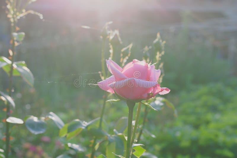 Rosa färger steg det höga nyckel- fotoet arkivbild