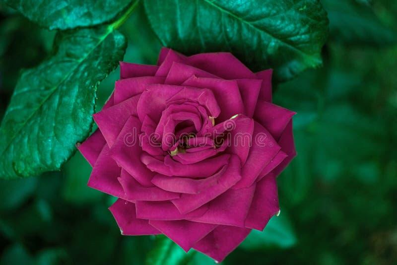 Rosa färger steg det på en ljus dag arkivbild