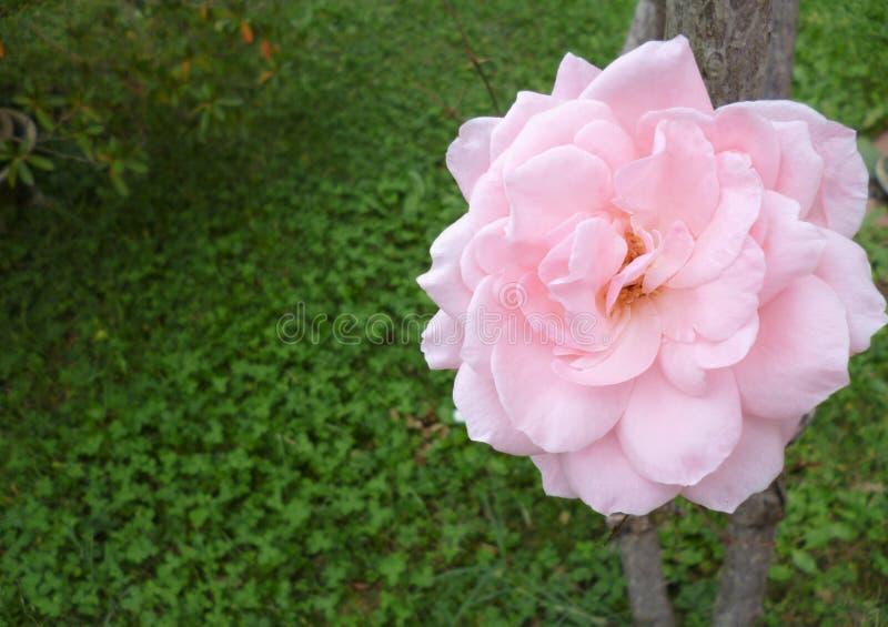 Rosa färger steg i höstträdgården royaltyfria foton