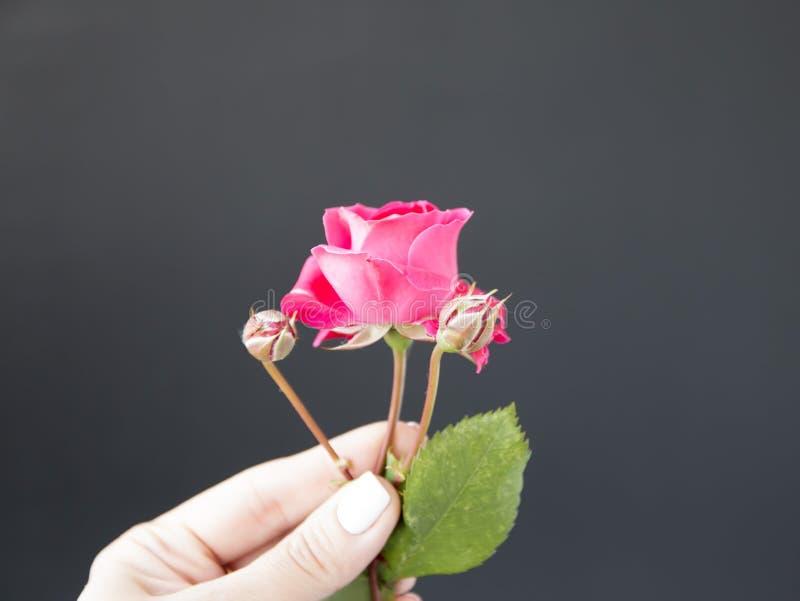 Rosa färger steg i hand mot, en svart bakgrund royaltyfria bilder