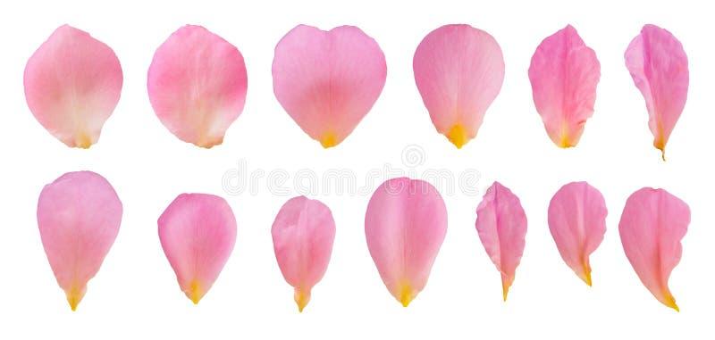 Rosa färger steg kronblad ställde in samlingen isolerad på vit royaltyfria bilder