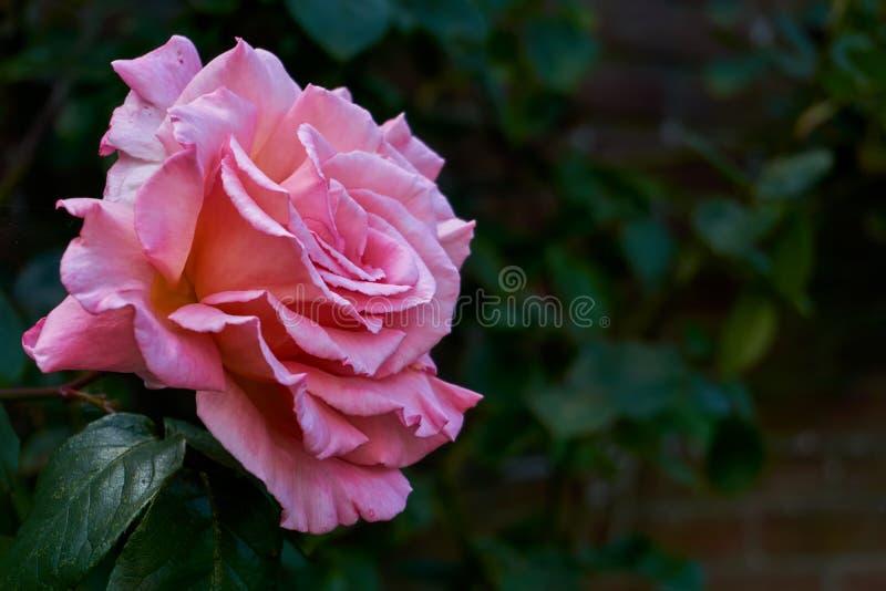 Rosa färger steg mot ett mörkt - grön bakgrund royaltyfria bilder