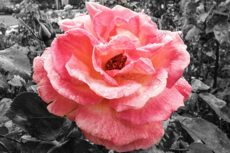 Rosa färger steg, selektiv färg med svartvit bakgrund royaltyfri fotografi