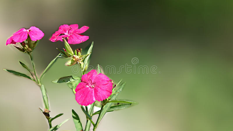 Rosa färgfärgblomma i en blomkruka royaltyfria foton