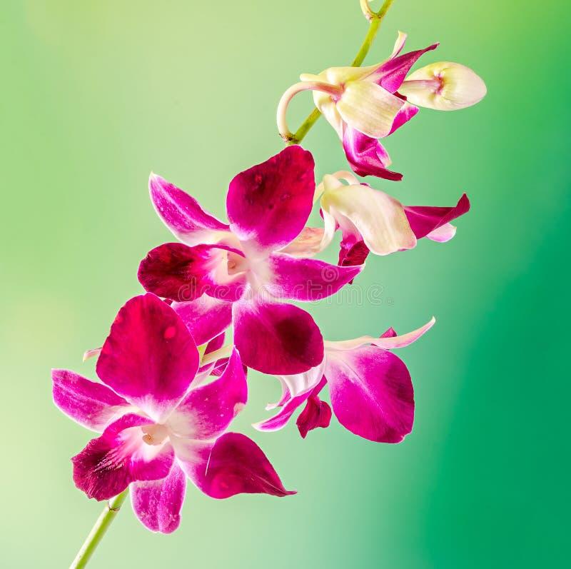 Rosa färgfilialorkidén blommar, orchidaceaen, Phalaenopsis som är bekant som malorkidén, förkortade Phal Rosa bokeh tänder bakgru royaltyfri fotografi