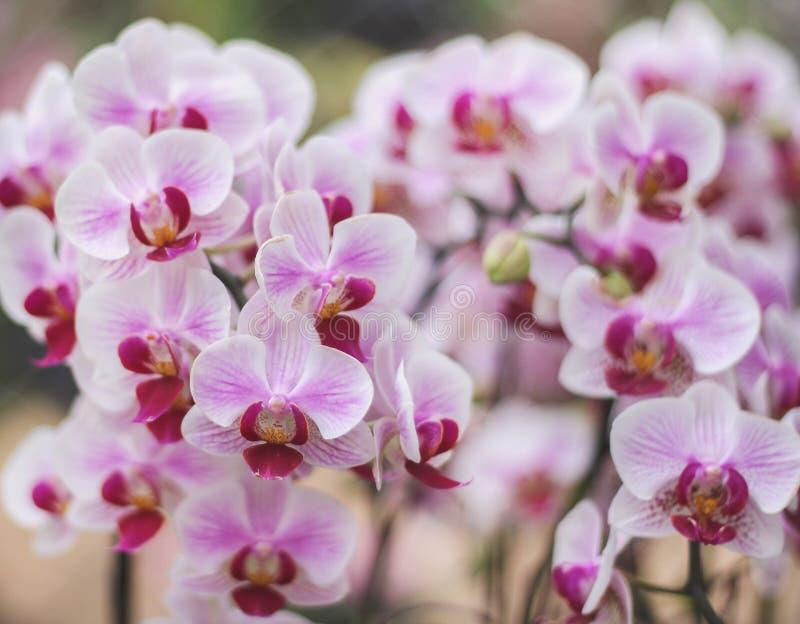 Rosa färgrika blommor eller purpurfärgad phalaenopsisorkidégrupp som blommar i trädgård på bakgrund, dekorativa naturmodeller royaltyfri foto