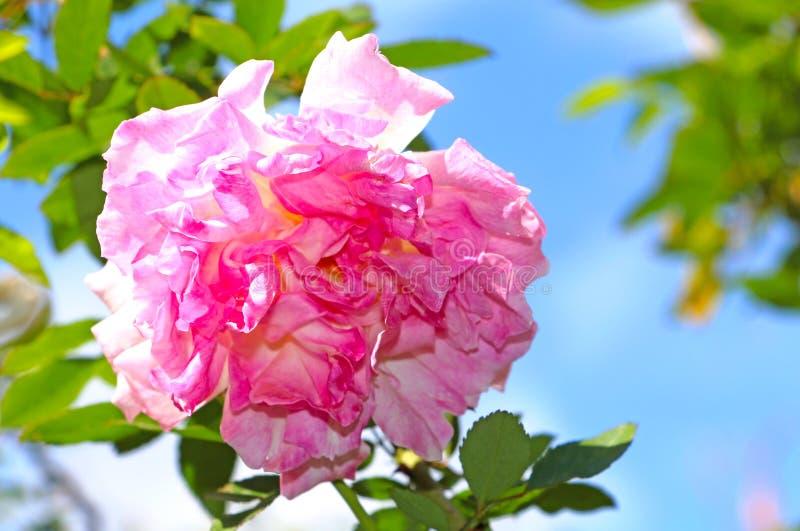 Rosa färgros över ljus blå himmel fotografering för bildbyråer
