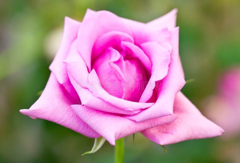 Download Rosa färgros. arkivfoto. Bild av blommar, nytt, härlig - 37347714