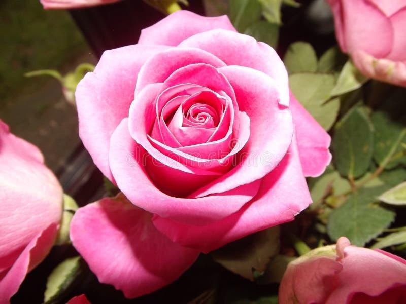 Rosa färgros i en buske fotografering för bildbyråer