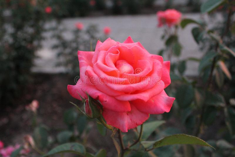 Rosa färgros i parkera Härlig blomma i trädgården arkivfoto
