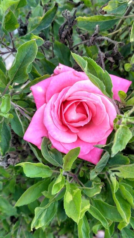 Rosa färgros i tulsa royaltyfri fotografi