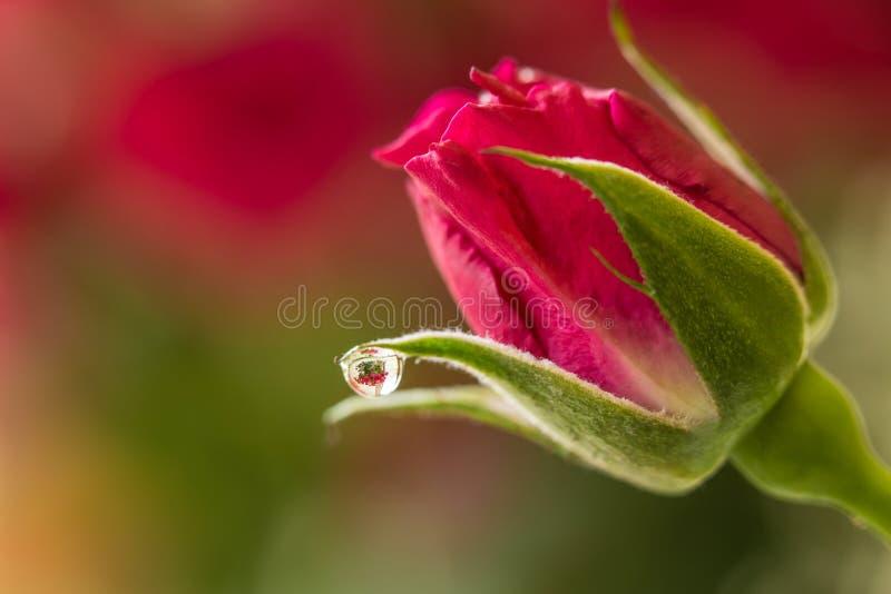 Rosa färgros med refraktion royaltyfri bild