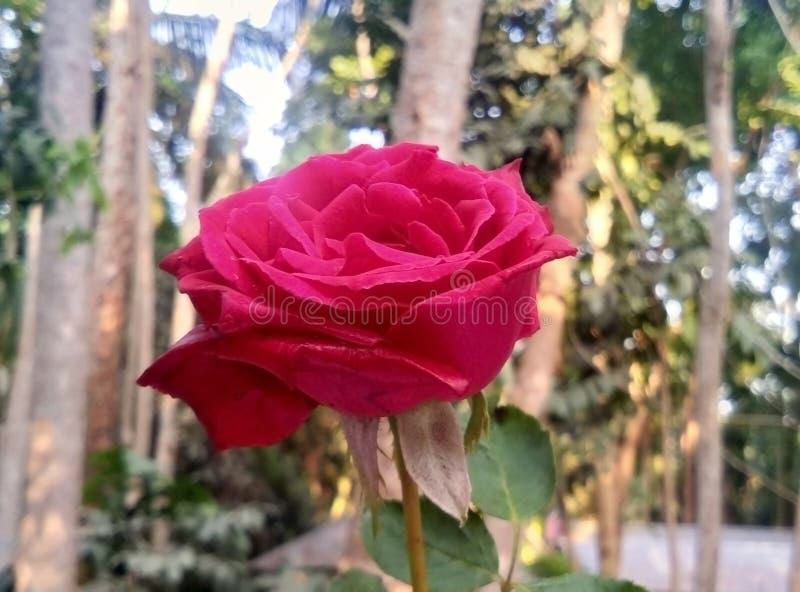 Rosa färgros med suddighetsbakgrund royaltyfria bilder