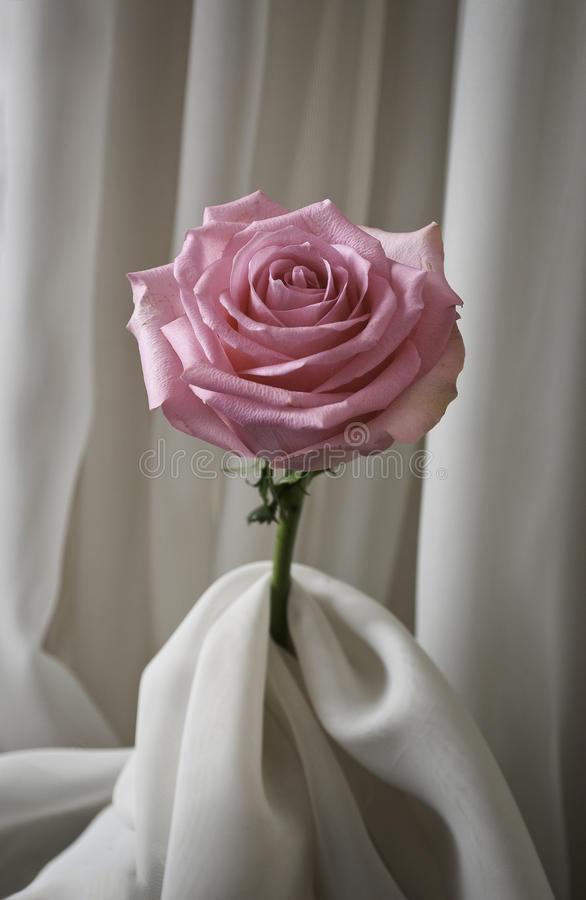 Rosa färgros och silke arkivbild