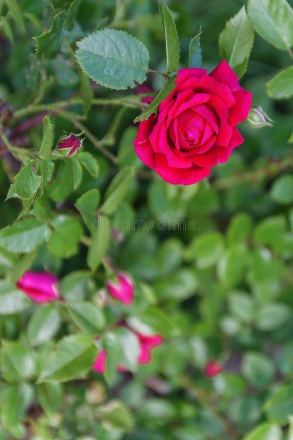 rosa färgros på en buske, bästa sikt royaltyfri bild