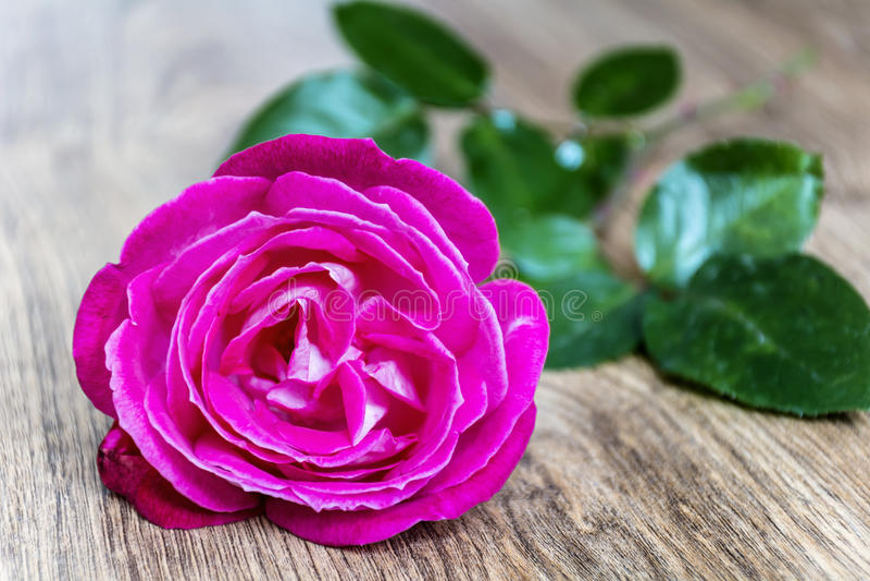 Rosa färgros på en träbakgrund royaltyfri bild