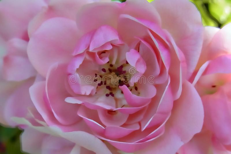 Rosa färgros på valentindag royaltyfria foton