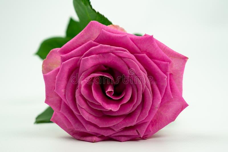 Rosa färgros som isoleras på en vit bakgrund arkivbilder