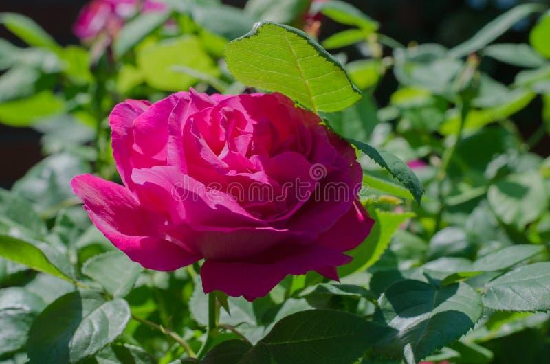 Rosa färgros - Rosa `-Victor Verdier ` i botanisk trädgård royaltyfri bild
