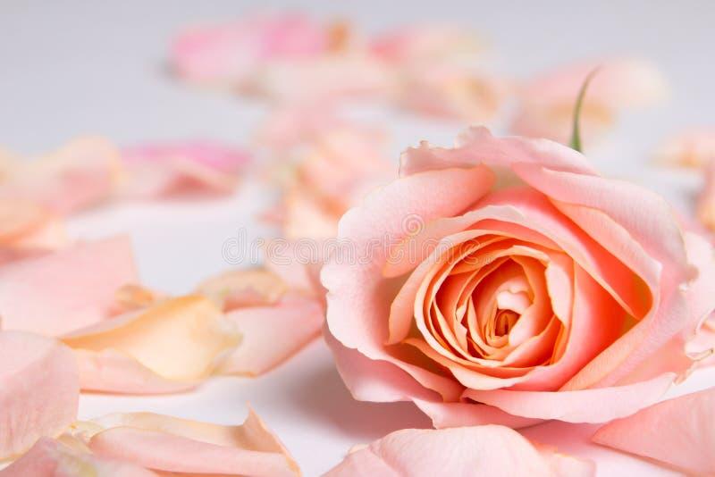 Rosa färgrosblomma och kronblad över vit bakgrund royaltyfri fotografi