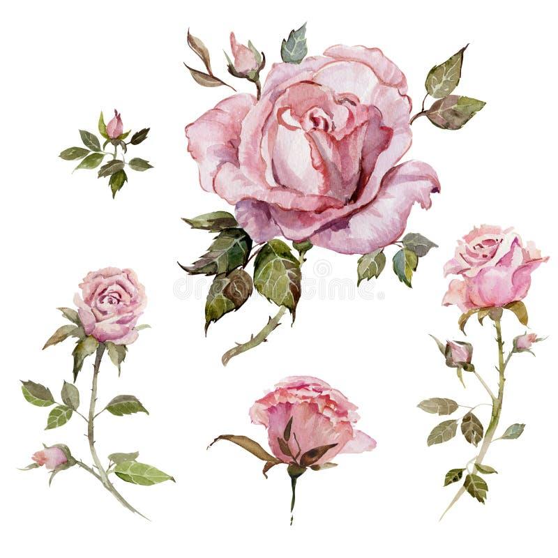 Rosa färgrosblomma på en fatta Den blom- uppsättningen blommar, slår ut, fattar med taggar och sidor bakgrund isolerad white stock illustrationer