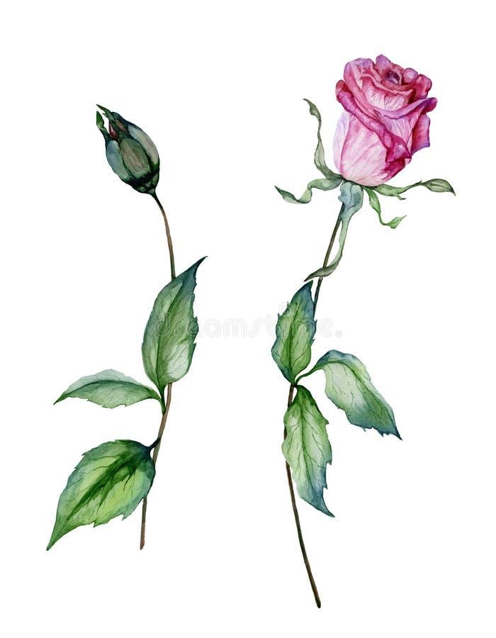 Rosa färgrosblomma på en fatta Härlig blom- fastställd blomma och stängd knopp på stammar med gröna sidor bakgrund isolerad white stock illustrationer