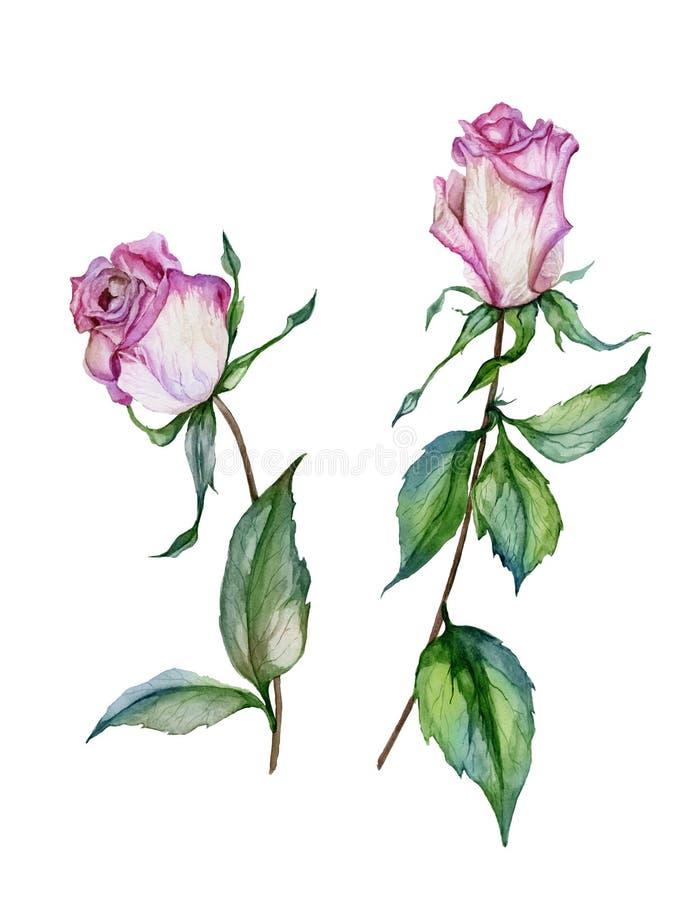 Rosa färgrosblomma på en fatta Härliga blom- fastställda blommor på stammar med sidor bakgrund isolerad white vektor illustrationer