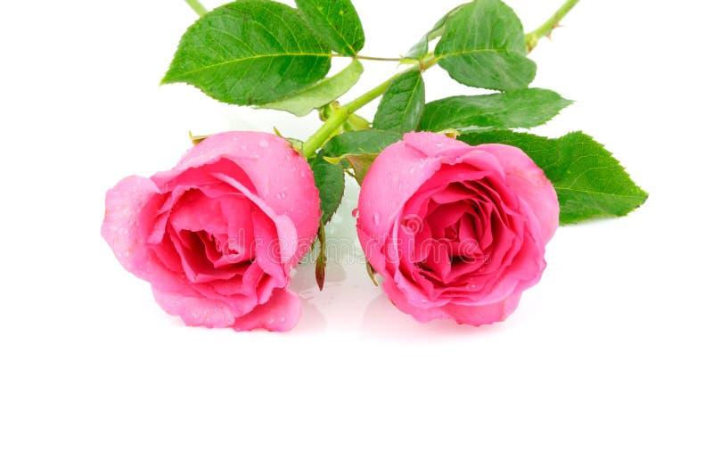 Rosa färgrosblomma på vit bakgrund arkivfoto