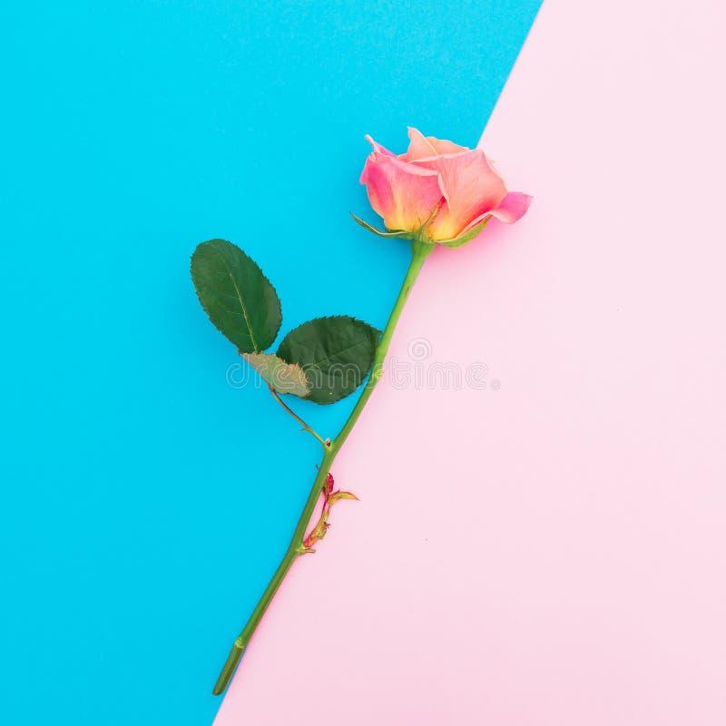 Rosa färgrosblomma som isoleras på blå och rosa pastellfärgad bakgrund Lekmanna- lägenhet Top beskådar arkivbilder