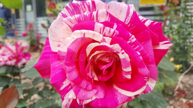 Rosa färgrosblommor royaltyfri bild