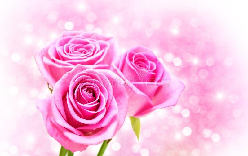 Rosa färgrosblomningar royaltyfria bilder