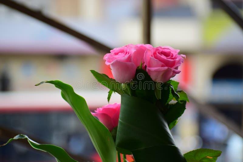 Rosa färgrosen är härlig fotografering för bildbyråer