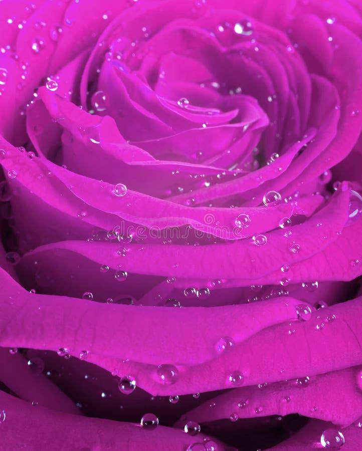 Rosa färgroskronblad med regn tappar closeupen pink rose royaltyfria bilder