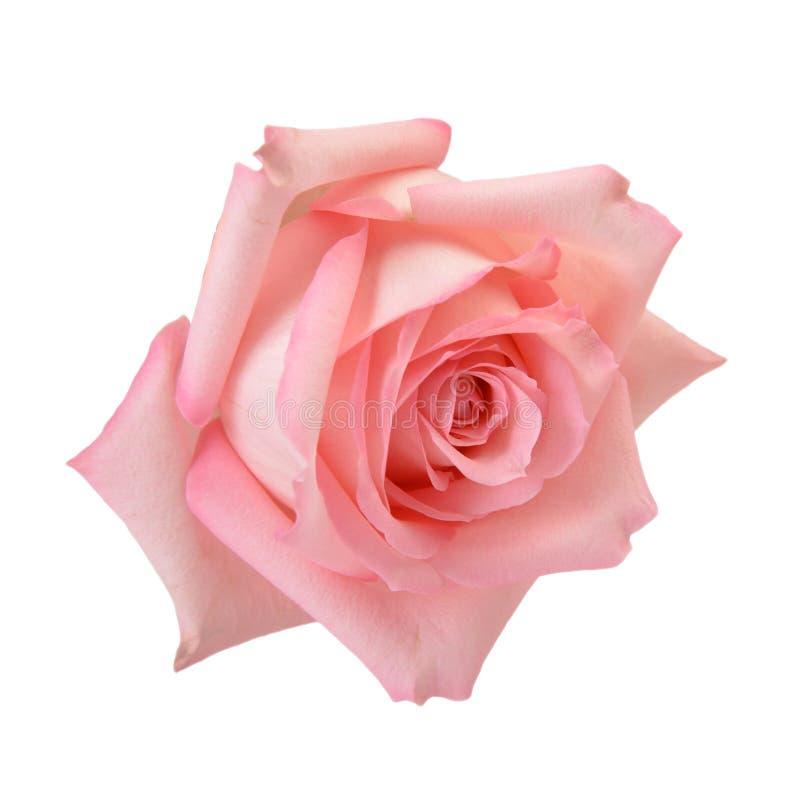 Rosa färgrosmakro royaltyfria foton