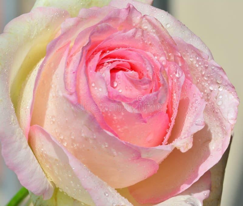 Rosa färgrosmakro med daggdroppar arkivbild