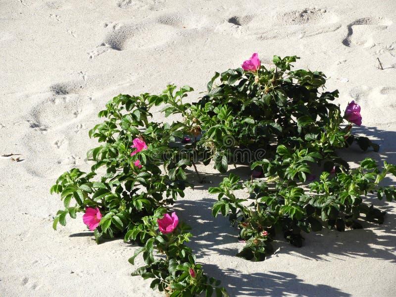 Rosa färgstrandrosen växer lös på den Massachusetts stranden arkivbilder