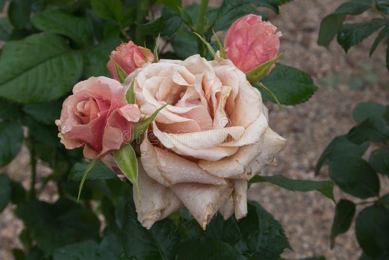 Rosa färgträdgården steg med regndroppar romantisk bakgrund royaltyfria foton
