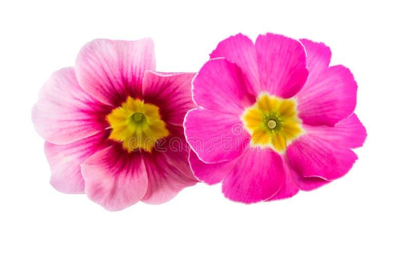 Rosa färgvåren blommar primulaprimulacloseupen royaltyfri fotografi